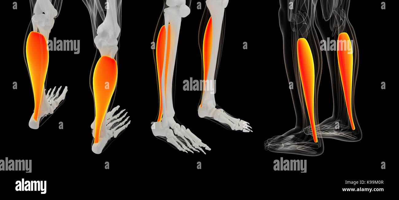 3D rendering ilustración del músculo sóleo Imagen De Stock