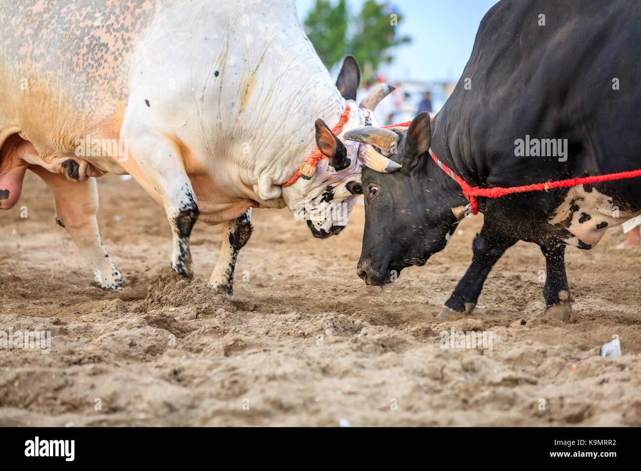 Los toros están luchando en una competencia tradicional en Fujairah, Emiratos Árabes Unidos Imagen De Stock