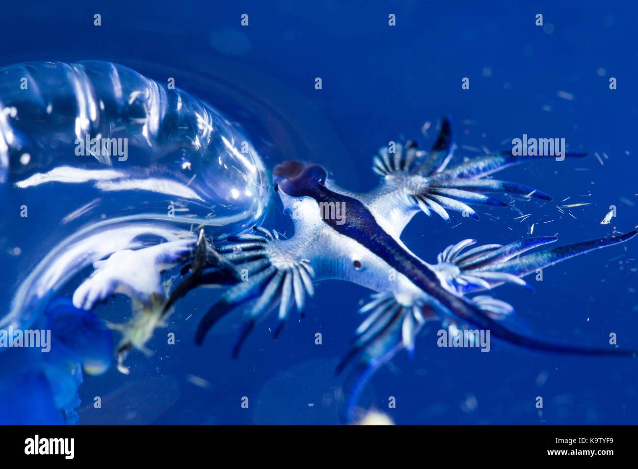 Estos nudibranquios pelágicos comer man-o-war medusas Foto de stock