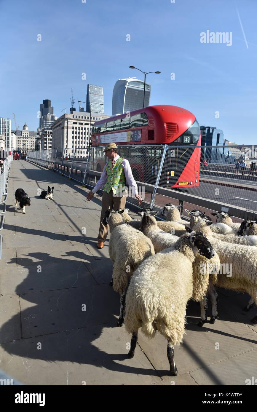 El puente de Londres, Londres, Reino Unido. El 24 de septiembre de 2017. La tasa anual de ovejas cruzar el puente Foto de stock