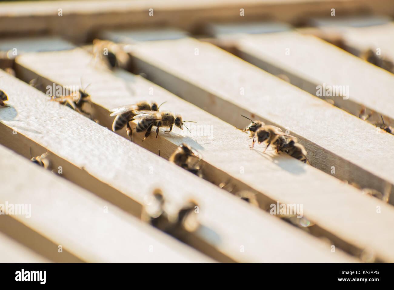 Marcos de abejas en colmenas de abejas con abejas en ellas, recogiendo el néctar de las flores Imagen De Stock