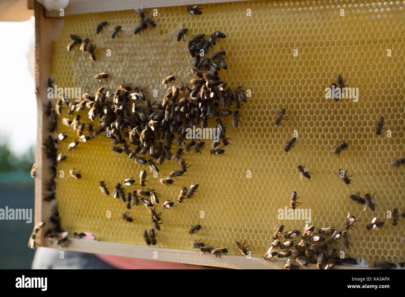 Fotogramas de un enjambre de abejas. recolección de miel apicultor apicultor inspección de colmenas de Imagen De Stock