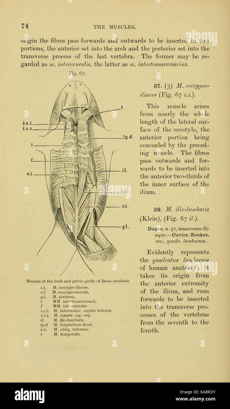 La anatomía de la rana (página 74, Fig. 67) BHL7554780 Foto & Imagen ...