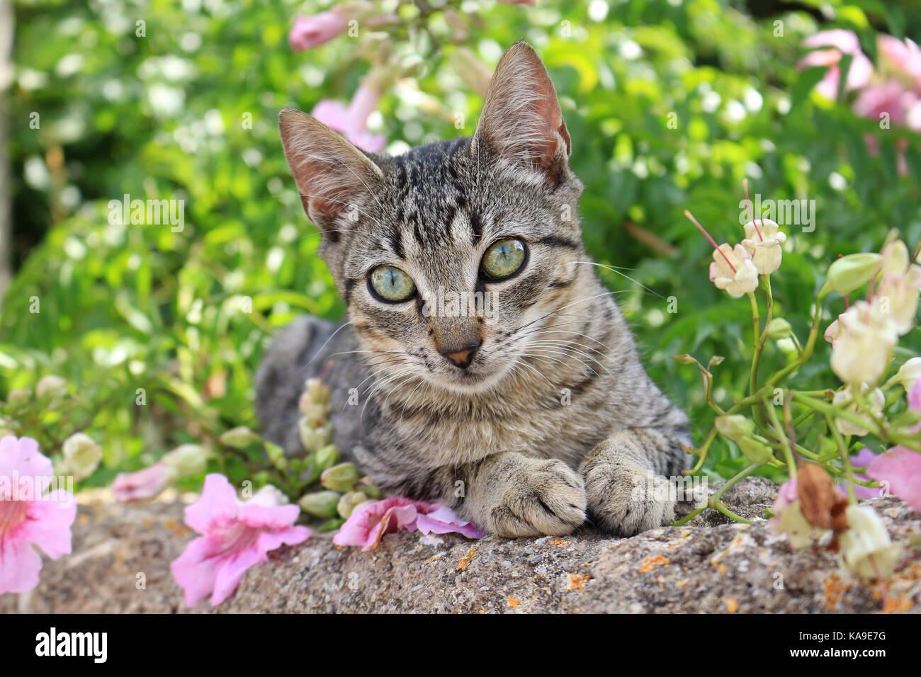 Gato doméstico, negro atigrado, recostado sobre una pared entre flores rosas Foto de stock