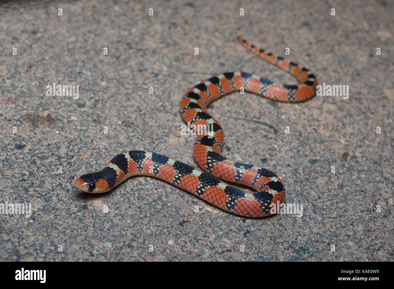 Una nariz de gancho thornscrub snake (gyalopion quadrangulare) en una carretera asfaltada en la noche cerca de alamos, Imagen De Stock