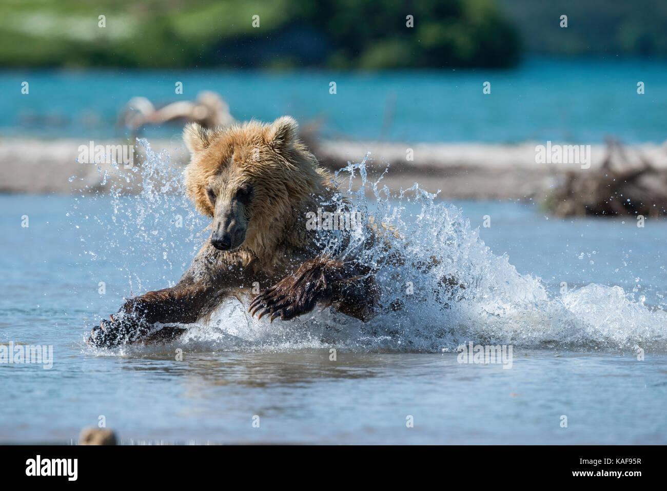 Oso pardo abalanza sobre salmones sockeye, Kamchatka, Rusia. Imagen De Stock