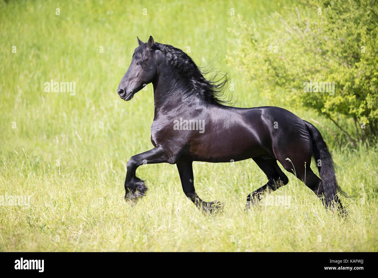 Caballo frisón. Semental negro al trote en una pradera. Austria Imagen De Stock