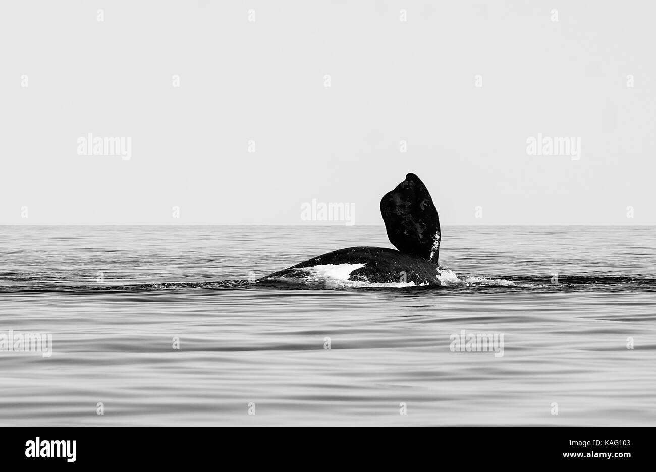 Ballena franca austral jugando en la superficie con su aleta pectoral fuera del agua, Península Valdés, Patagonia, Argentina. Foto de stock