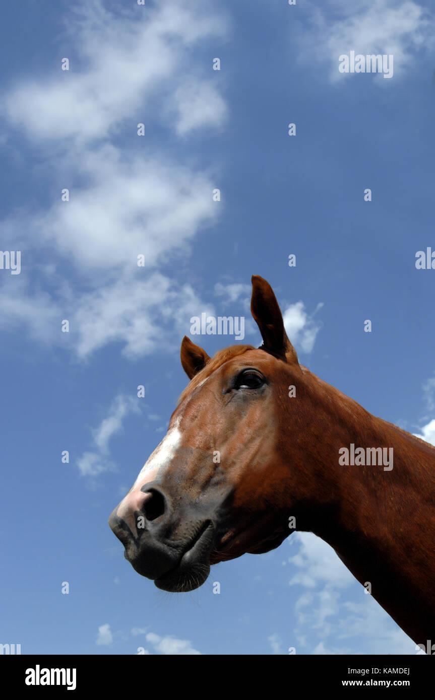 Acedera quarter horse está enmarcado por un intenso azul cielo ...