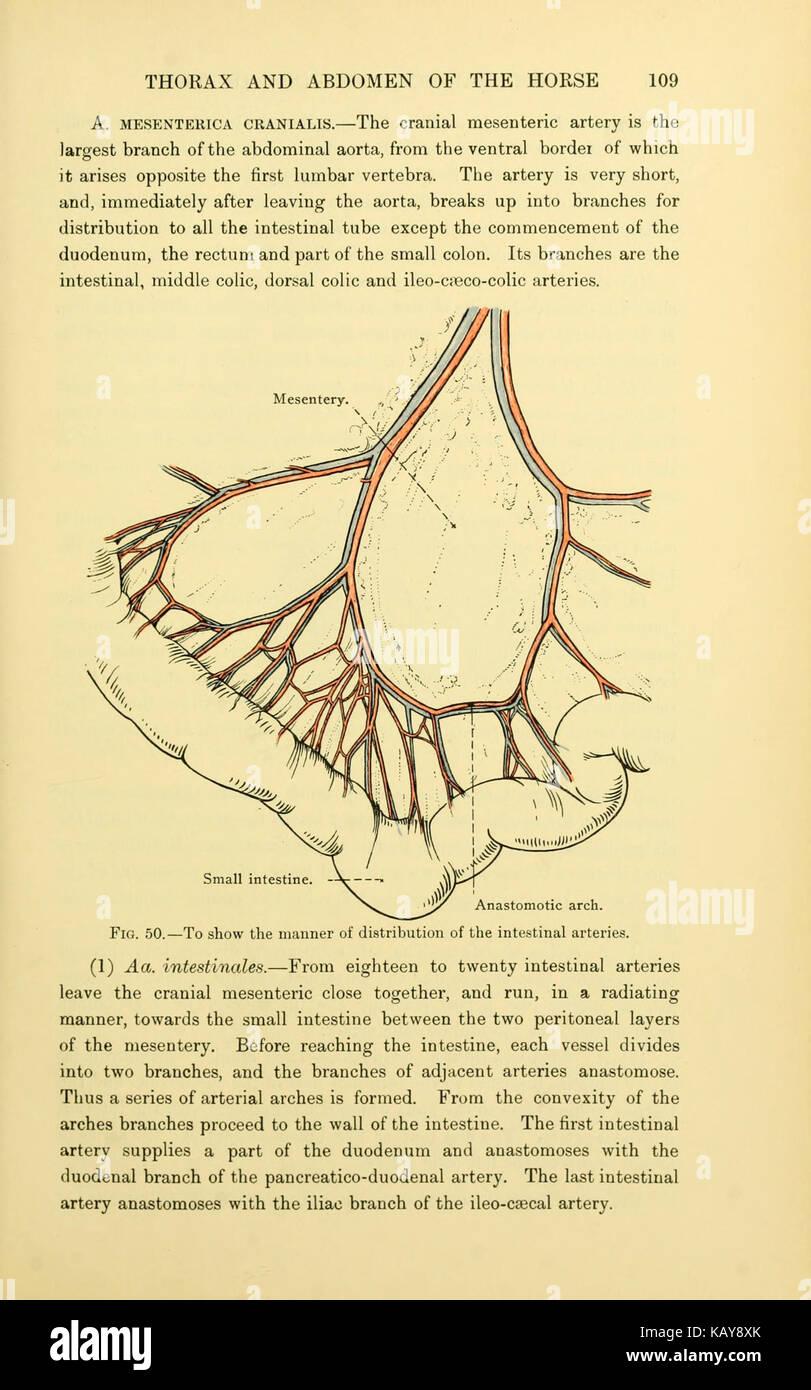 La anatomía topográfica del tórax y abdomen del caballo (página 109 ...