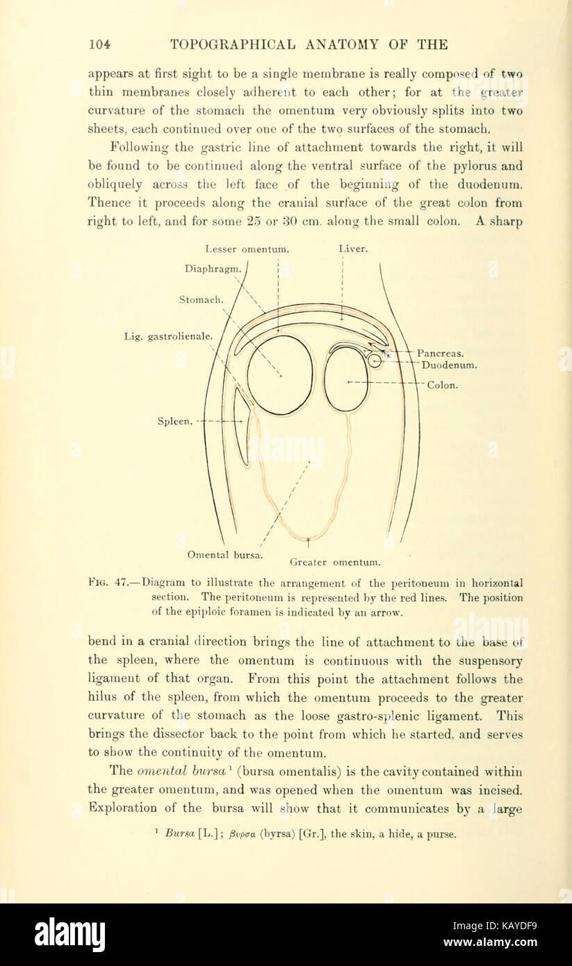 La anatomía topográfica del tórax y abdomen del caballo (página 104 ...