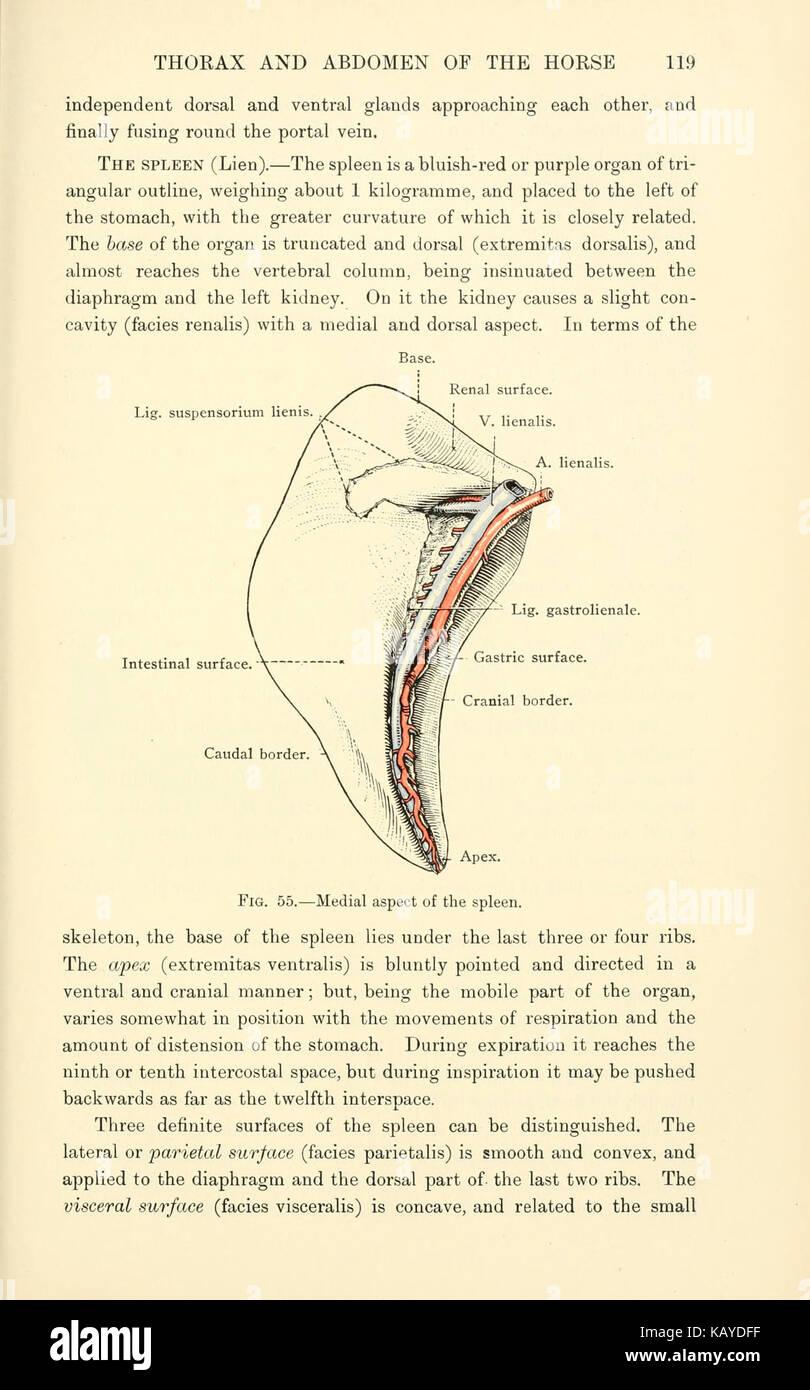 La anatomía topográfica del tórax y abdomen del caballo (página 119 ...