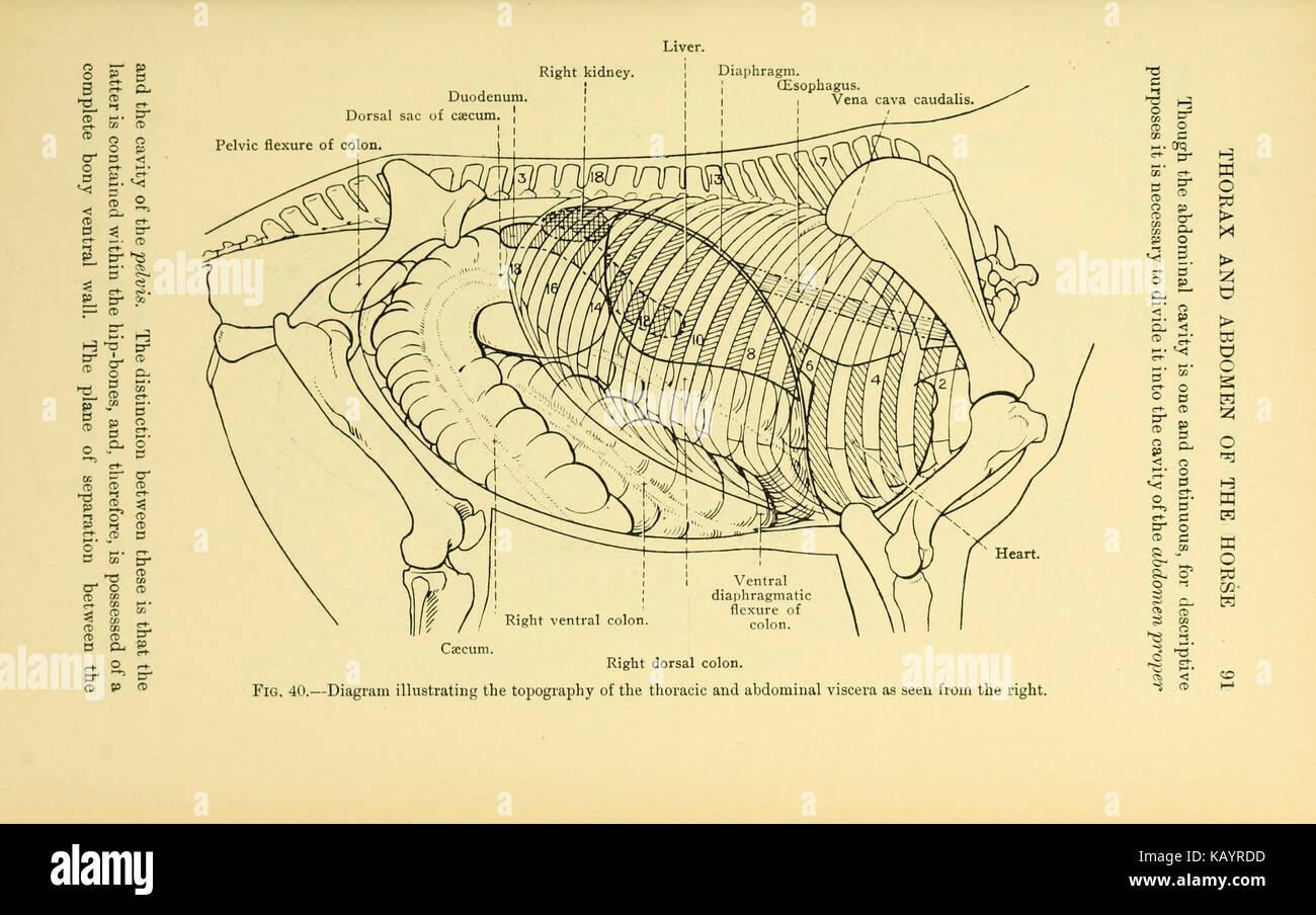 La anatomía topográfica del tórax y abdomen del caballo (página 91 ...
