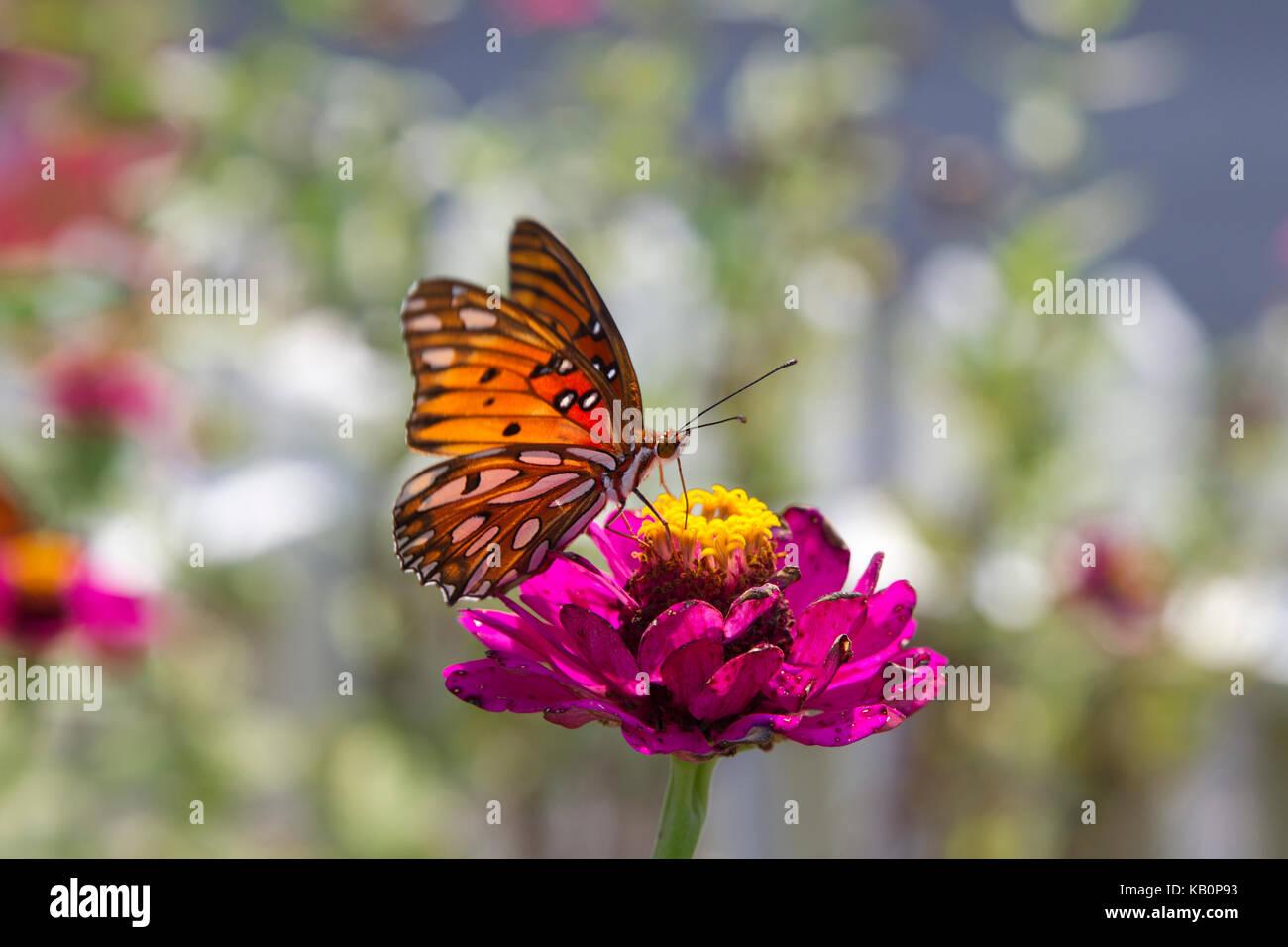 Golfo speyeria mariposa sobre flor magenta Imagen De Stock