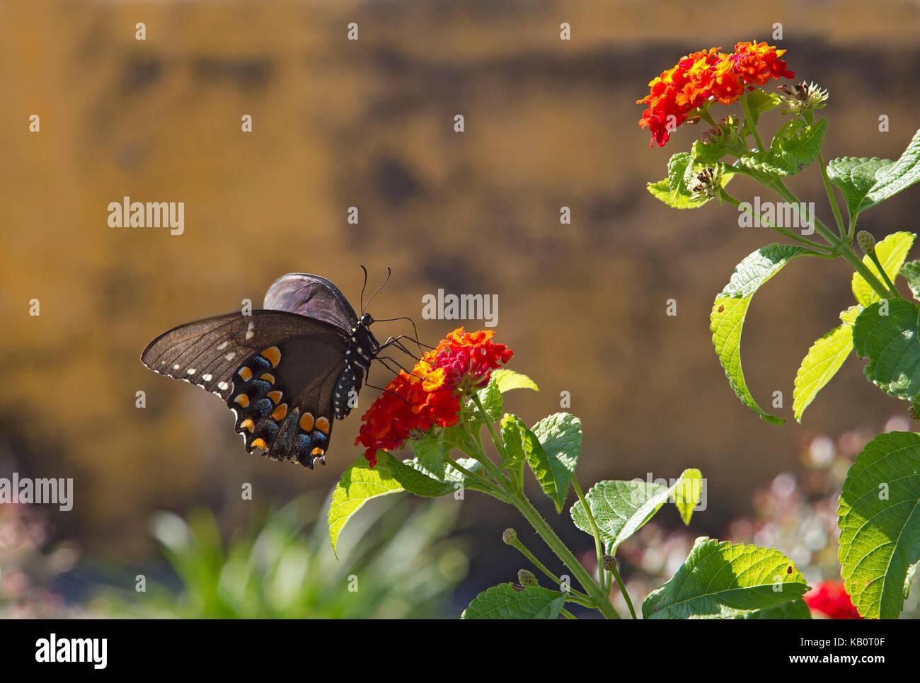 Especie spicebush butterfly Foto de stock
