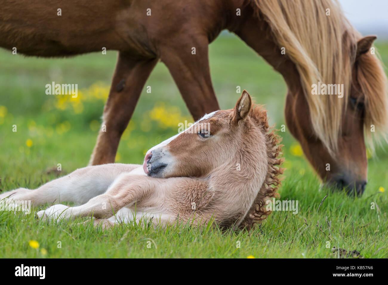 Yegua y potro, Islandia Islandia caballos de pura raza, Islandia Imagen De Stock