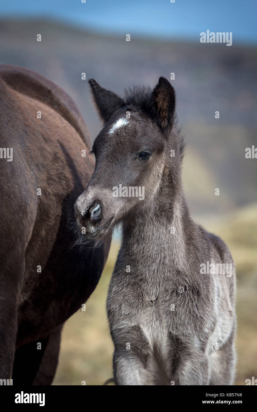 Potro recién nacido, Islandia, islandés los caballos pura sangre, Islandia Imagen De Stock
