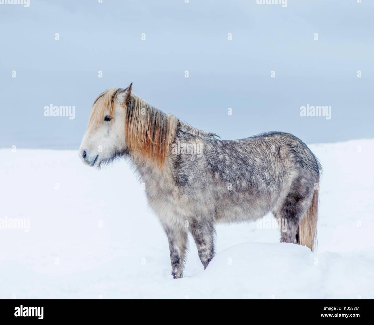 Retrato caballo islandés, Islandia el caballo islandés es una raza desarrollada en Islandia con muchas cualidades únicas. Son de larga vida y resistentes y en su país natal tienen pocas enfermedades; la ley islandesa impide que los caballos sean importados al país y no se permite que los animales exportados regresen. Foto de stock