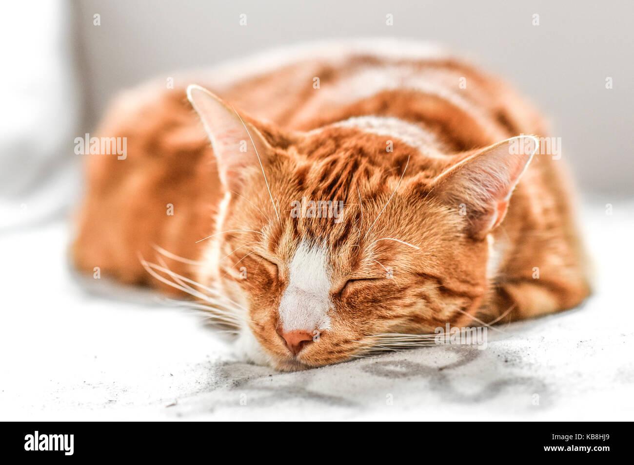 Un joven gato durmiendo en un sofá en casa, dulce y hermosa. Foto de stock