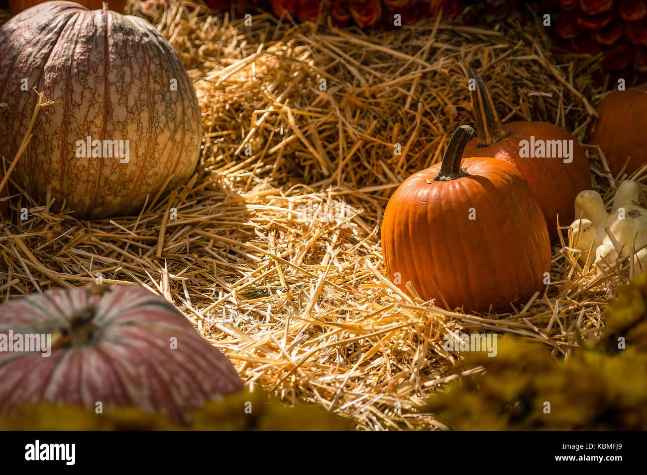 Calabaza de la cosecha de Halloween Foto de stock