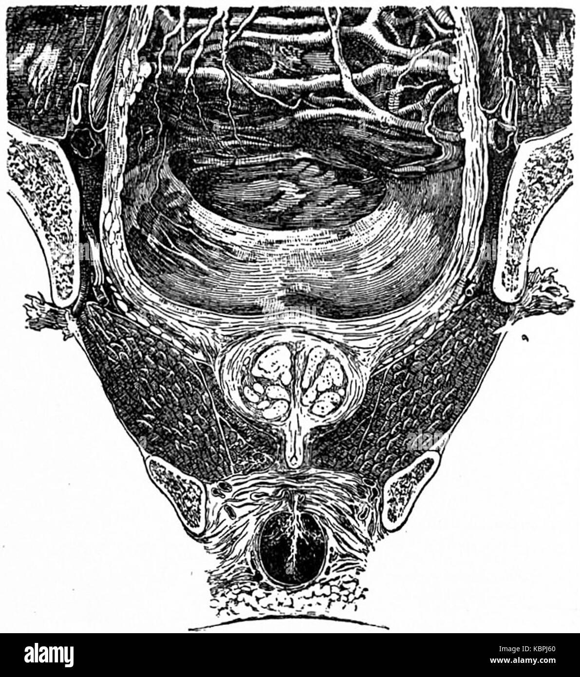 EB1911 Sistema reproductivo, en la anatomía de la pelvis sección con ...