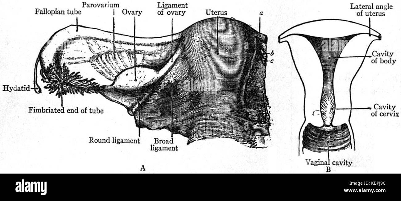 Increíble Uterina Cavidad Anatomía Componente - Anatomía de Las ...
