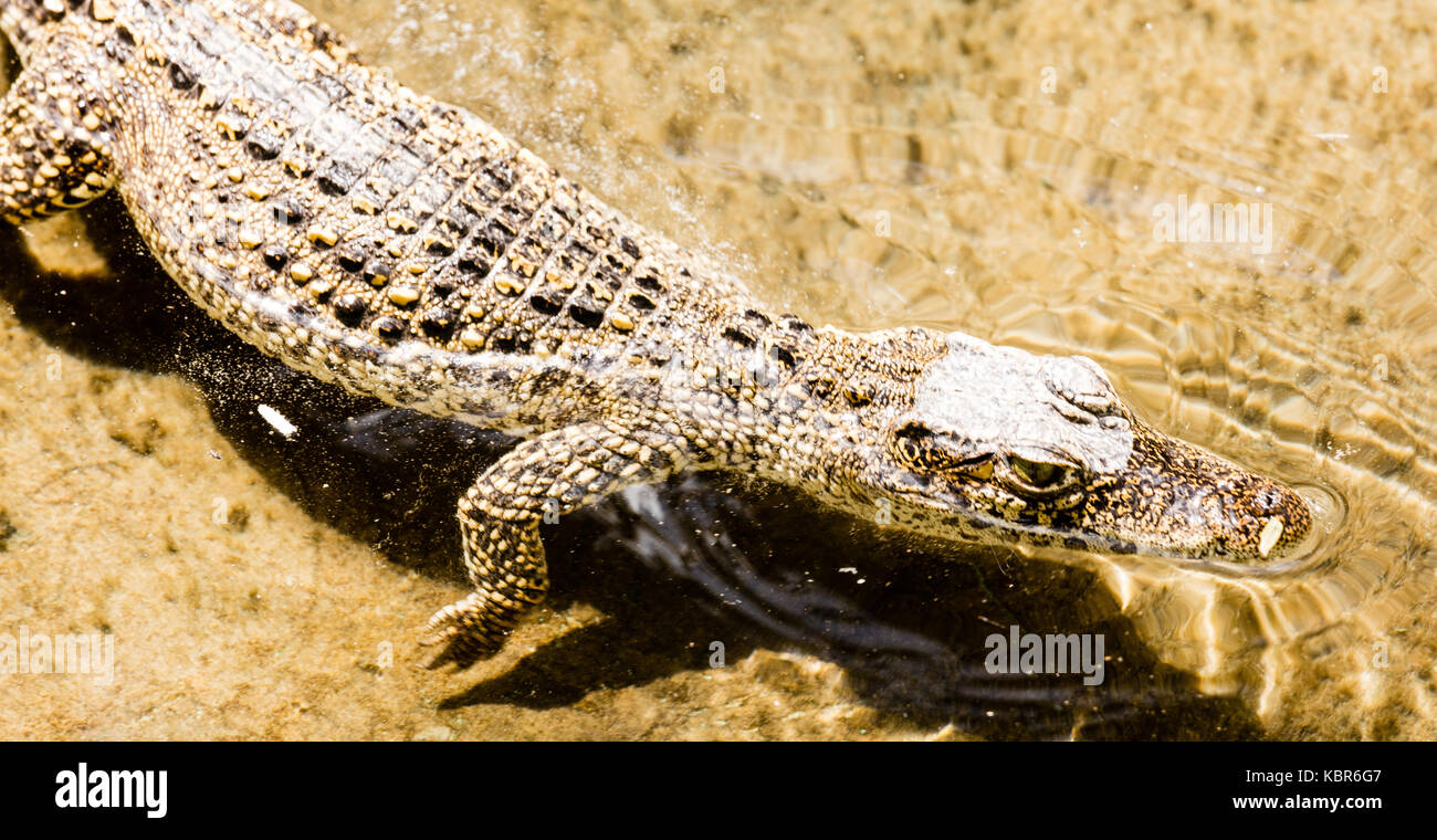 Cocodrilo cubano (Crocodylus rhombifer) críticamente amenazadas reptil endémico de Cuba Imagen De Stock