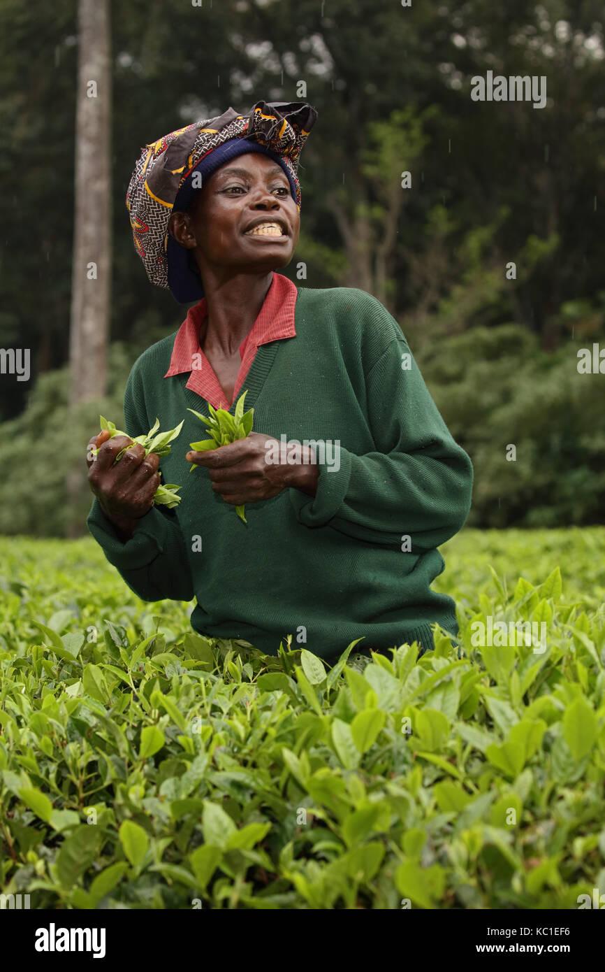 Selector de té, Kakamega, Bosque, selva tropical, Kenya, plantación de té utilizado como amortiguador para proteger los bosques naturales Foto de stock