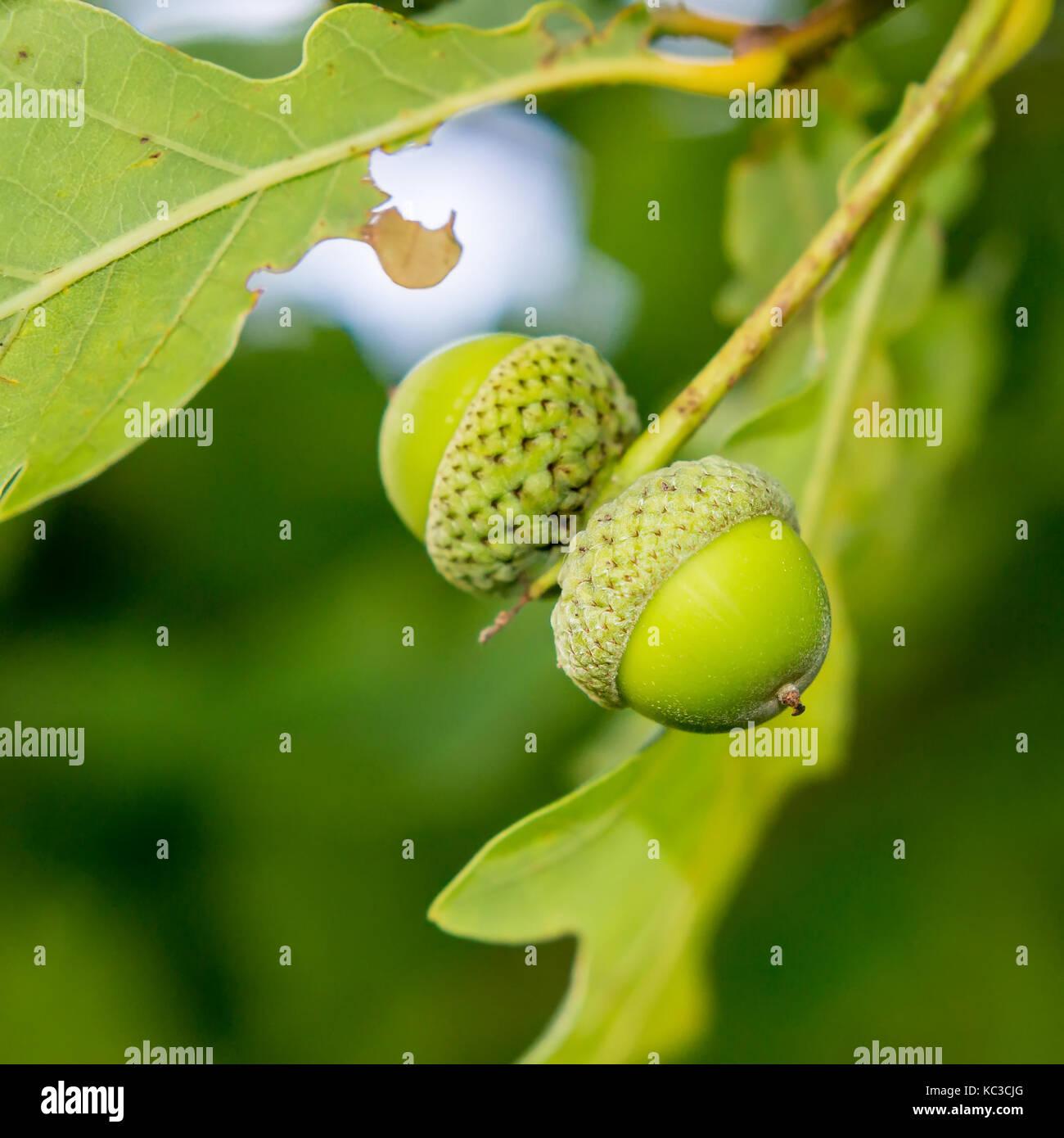 Dos jóvenes bellotas verdes Foto de stock