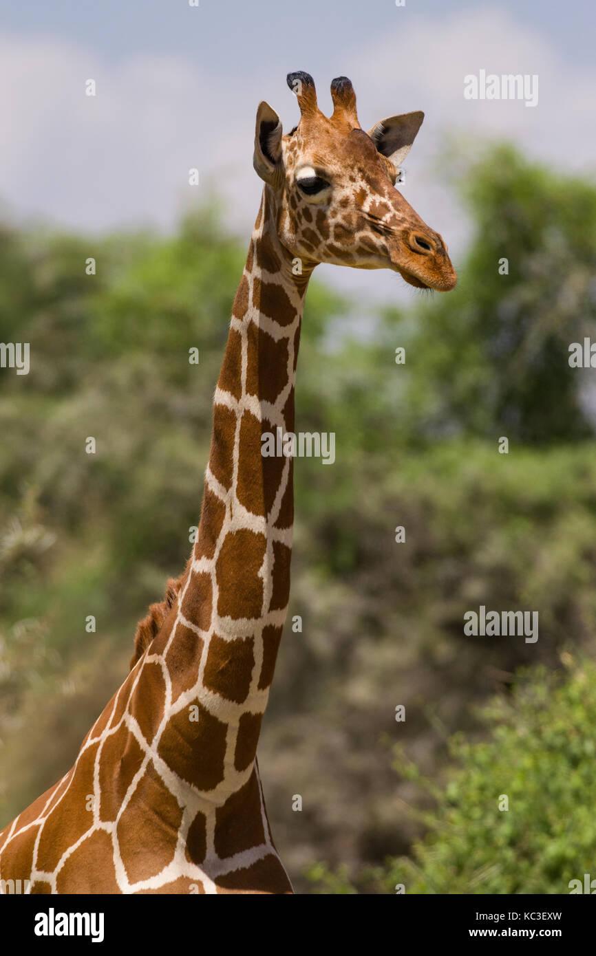 Jirafa reticulada (Giraffa camelopardalis reticulata), Parque Nacional de Samburu Game Reserve, Kenia, África Oriental Foto de stock