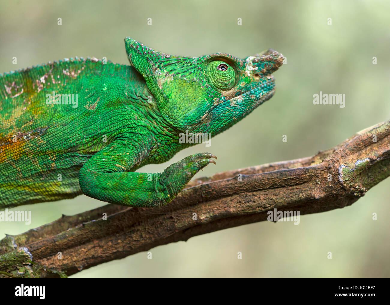 Camaleón pantera macho (Calumma parsonii), (chameleonidae), endémico de Madagascar, el parque nacional Imagen De Stock
