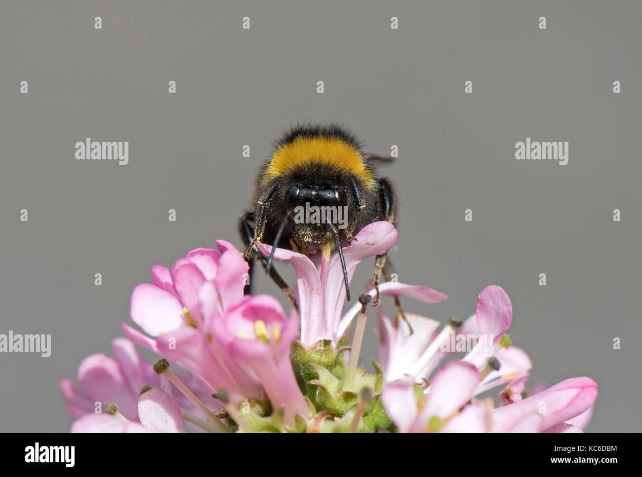 "Buff- colas de abejorros Bombus terrestris se alimenta de escallonia 'rosa ELLE UK"". Foto de stock"