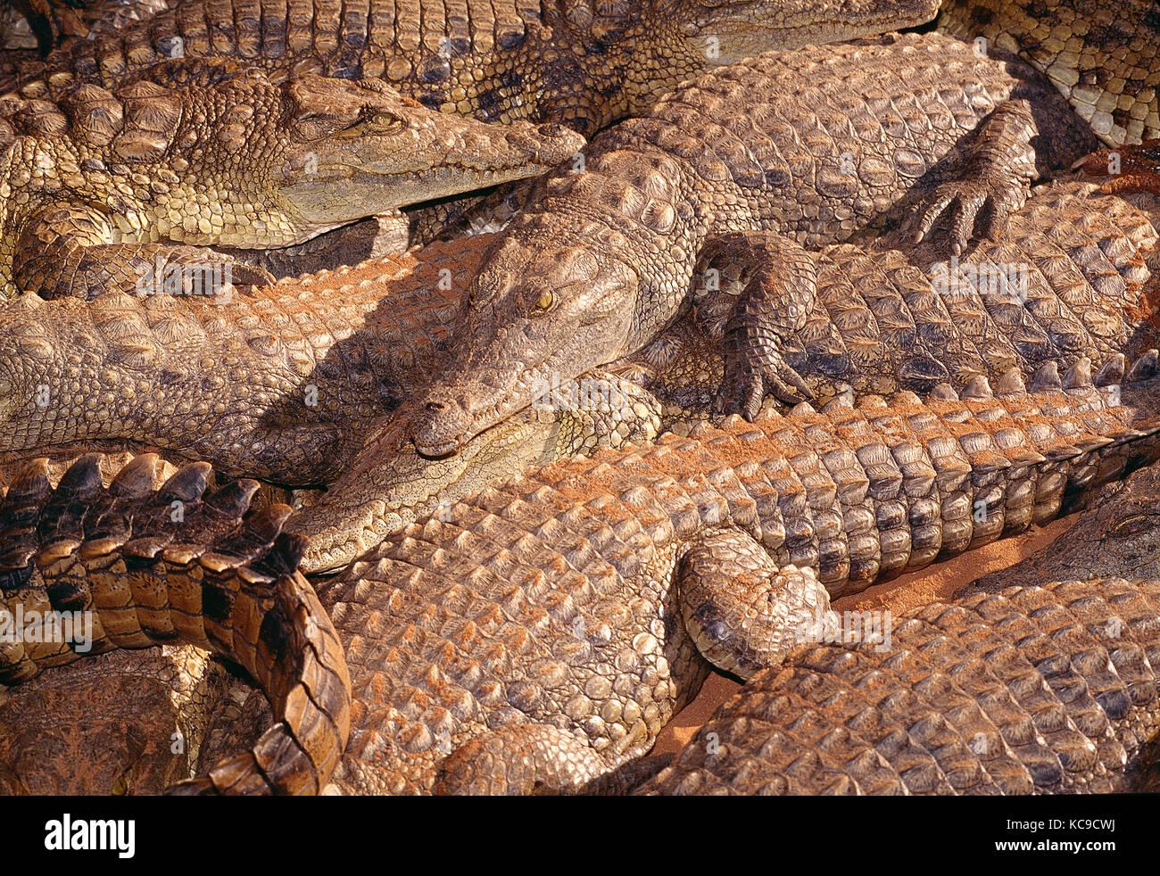Zimbabwe. Wildlife. granja de cocodrilos del Nilo. Imagen De Stock