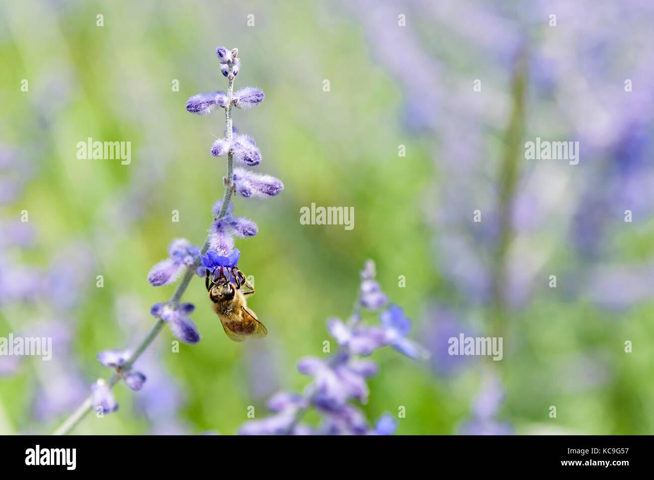 Close-up de abeja pie boca abajo y recogiendo polen de flores de salvia rusa o perovskia atriplicifolia Foto de stock