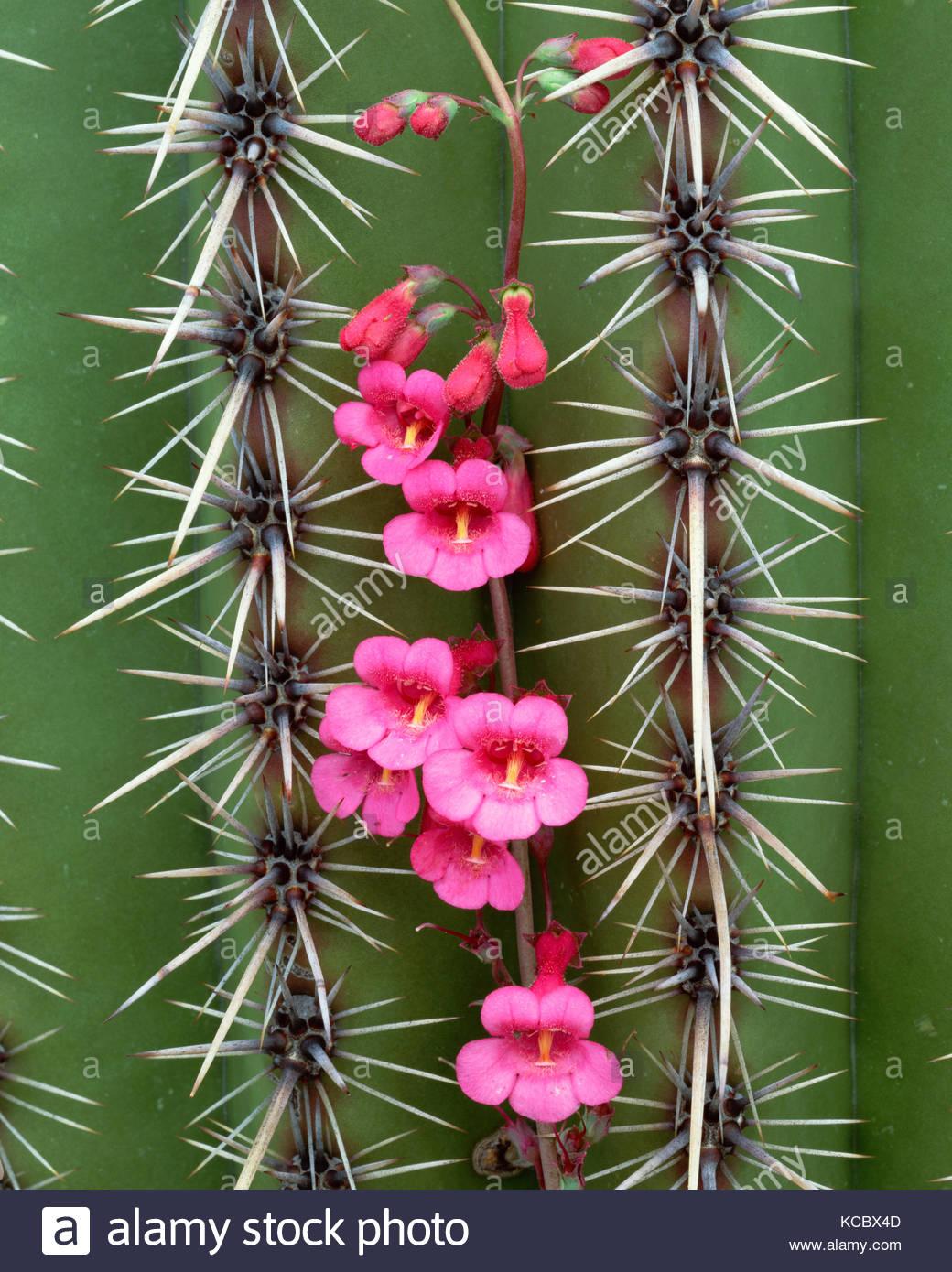 Penstemon creciente en el cacto saguaro, el Parque Nacional de Saguaro, Arizona Imagen De Stock