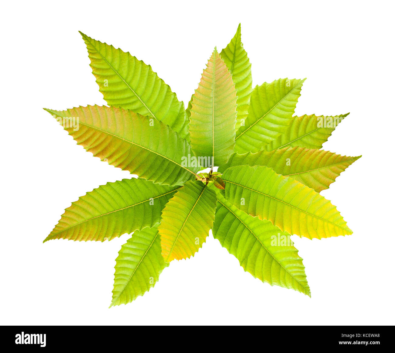 Rama de castaño con hojas en otoño aislado en blanco Foto de stock