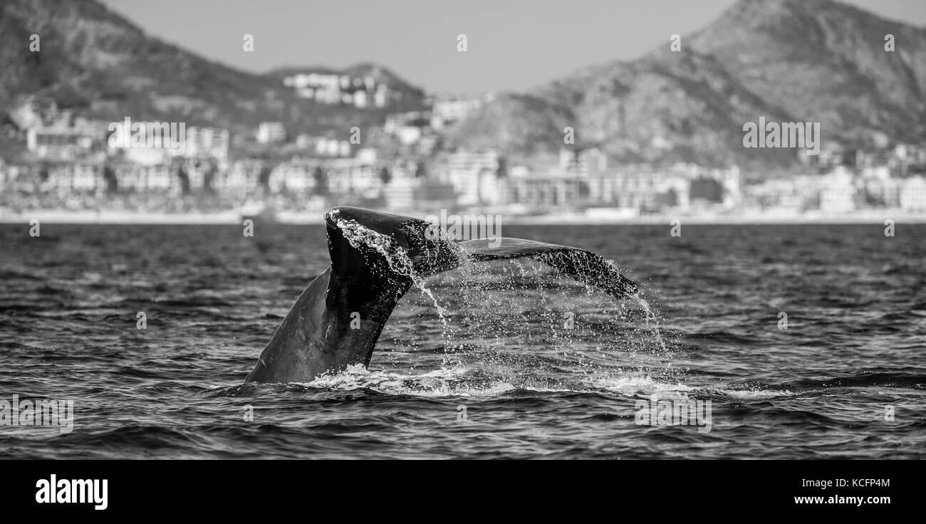 Cola de la ballena jorobada. México. El mar de Cortez. california . una excelente ilustración. Foto de stock