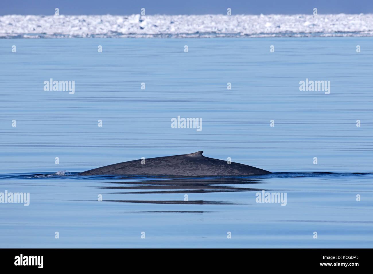 La ballena azul (Balaenoptera musculus) aflora el océano Ártico y mostrando la pequeña aleta dorsal, Svalbard, Noruega Foto de stock
