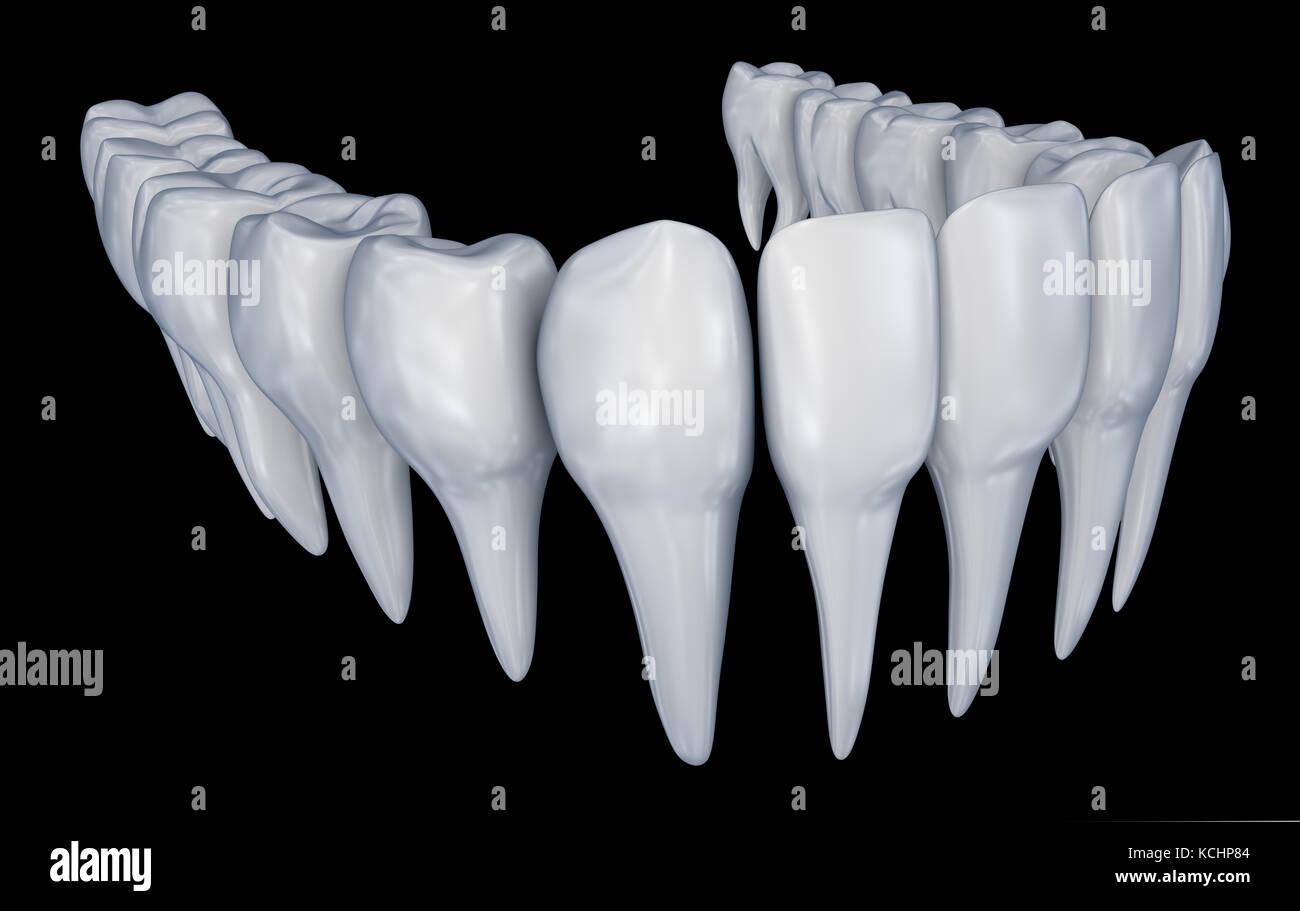 Los dientes humanos 3d instalación. médicamente precisa anatomía de ...