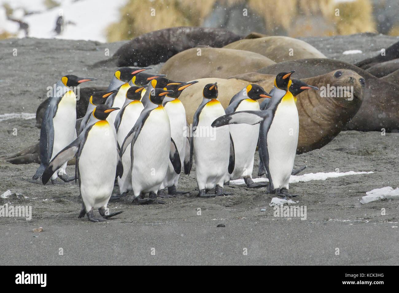 Pingüino Rey aptenodytes patagonicus, con grandes elefantes marinos mirounga angustirostris, en la parte trasera Imagen De Stock