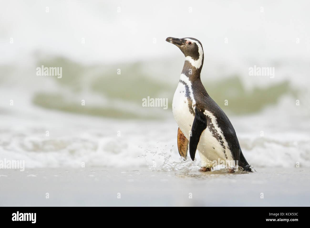 Pingüino de Magallanes (Spheniscus magellanicus) en una playa en las Islas Falkland. Imagen De Stock