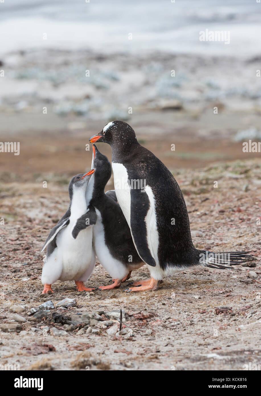Pollitos intenta fomentar la alimentación desde un adulto pingüinos papúa (Pygoscelis papua) la Isla Imagen De Stock