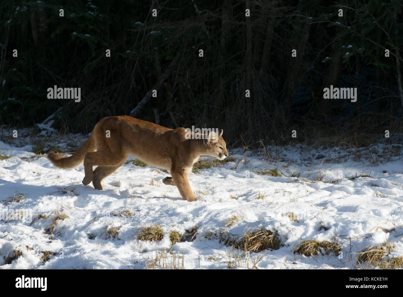Puma, Puma concolor, a lo largo de borde de bosque en invierno, Montana, EE.UU. Imagen De Stock