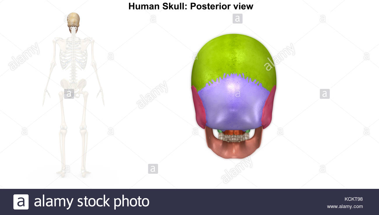 Parietal Bone Skull Imágenes De Stock & Parietal Bone Skull Fotos De ...