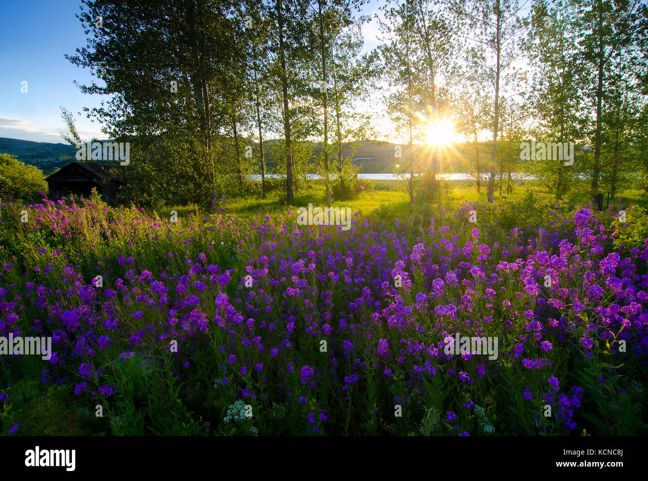 Hesperis matronalis (dames rocket) en plena floración como ellos empapan en primavera sol al lado de el lago Imagen De Stock