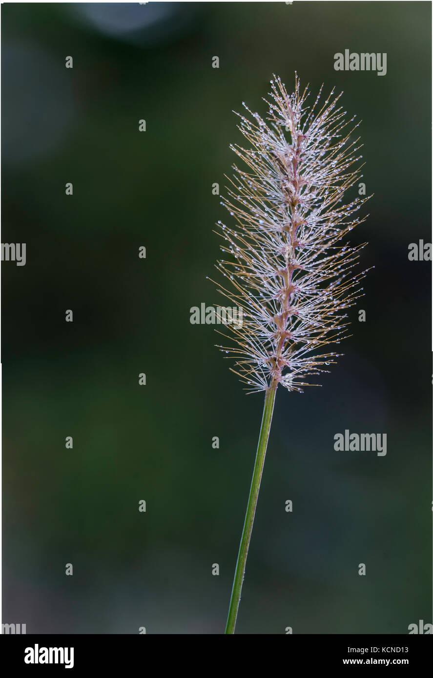 Inflorescencia cubierto de rocío, el noreste de Ontario, Canadá Foto de stock