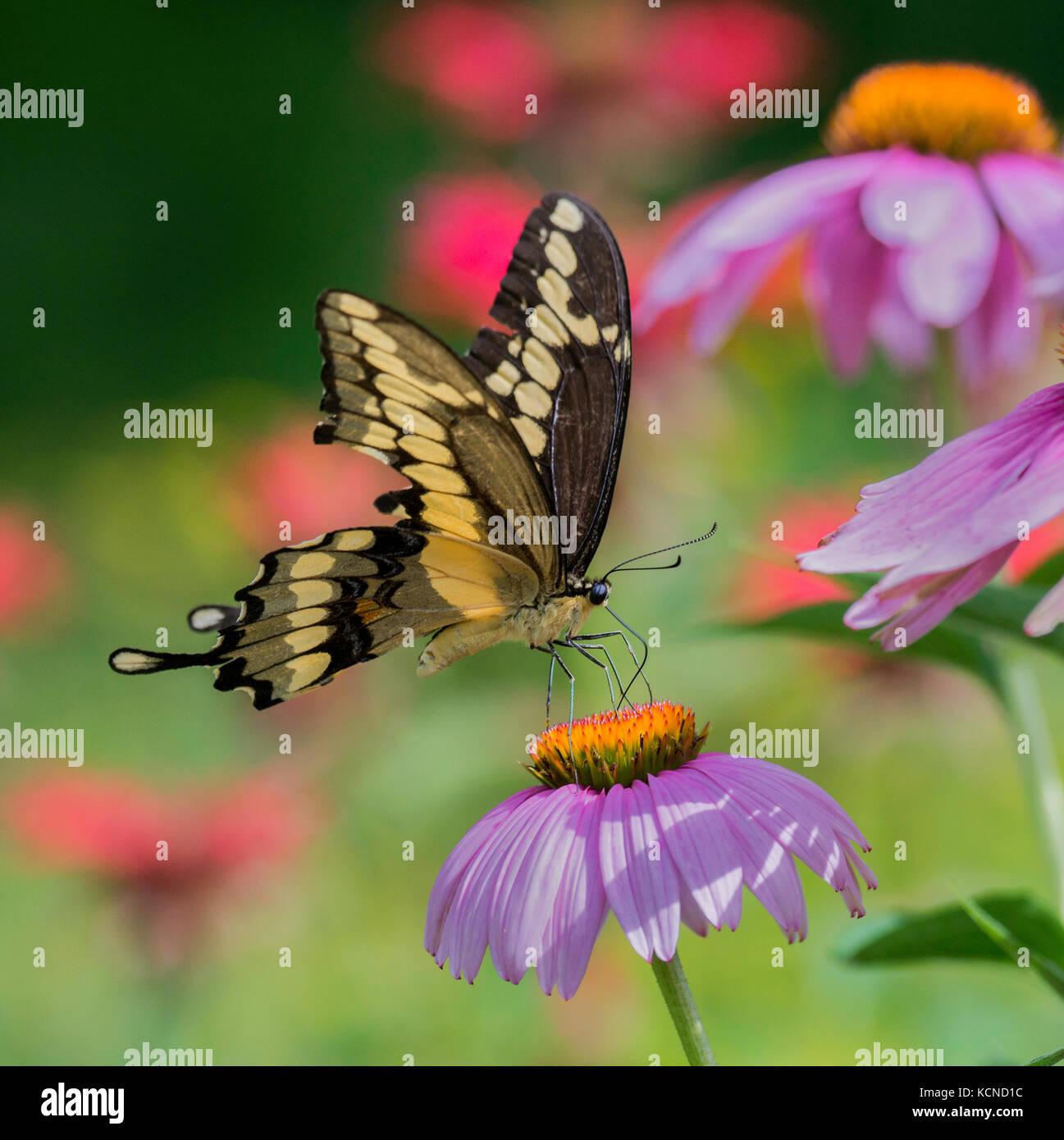 Especie gigante mariposa papilio cresphontes, sobre una flor cónica púrpura, noreste de Ontario, Canadá Foto de stock