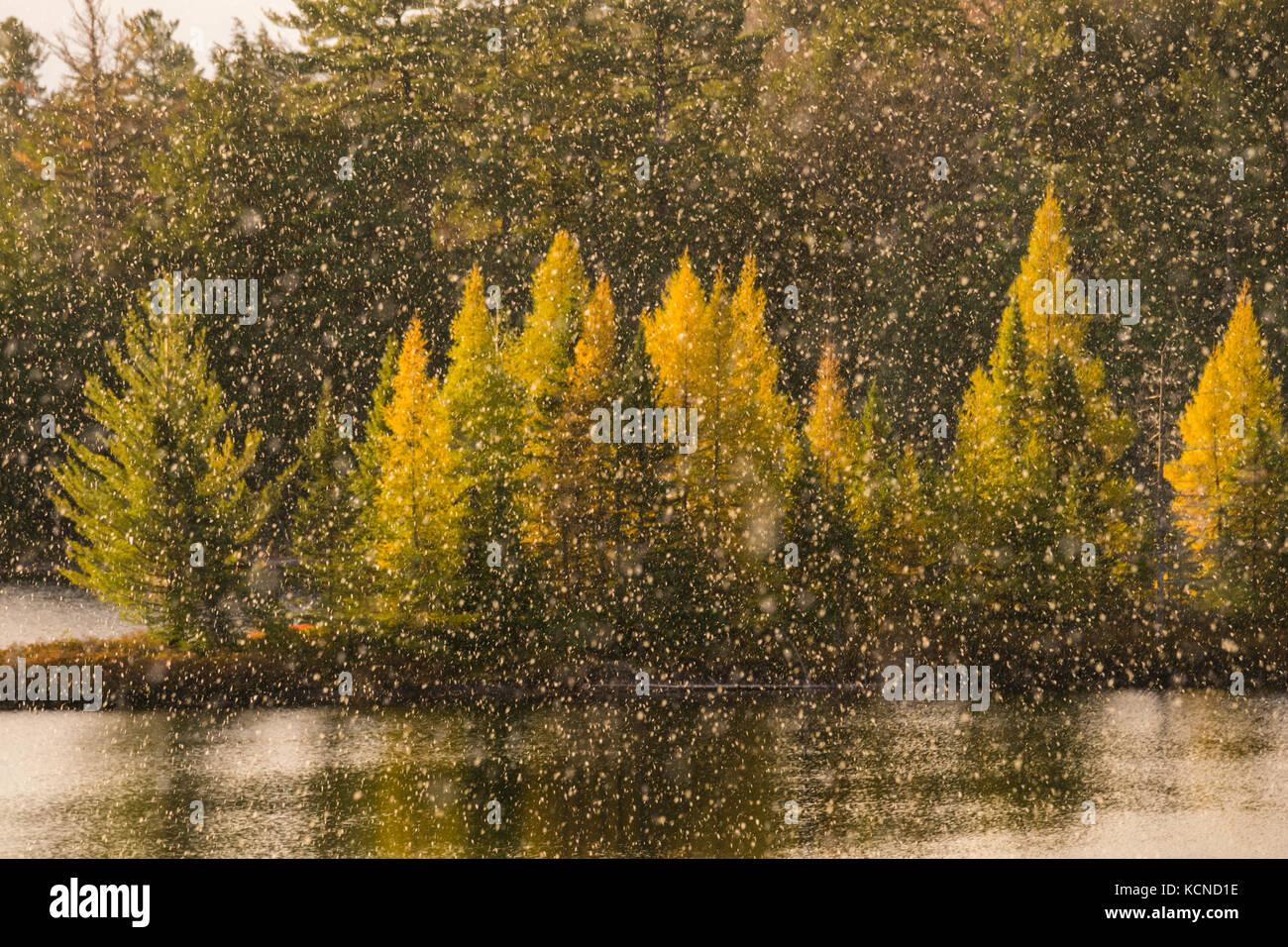 Golden tamaracks, en el otoño, en el norte de la región de Bay, Canadá Foto de stock