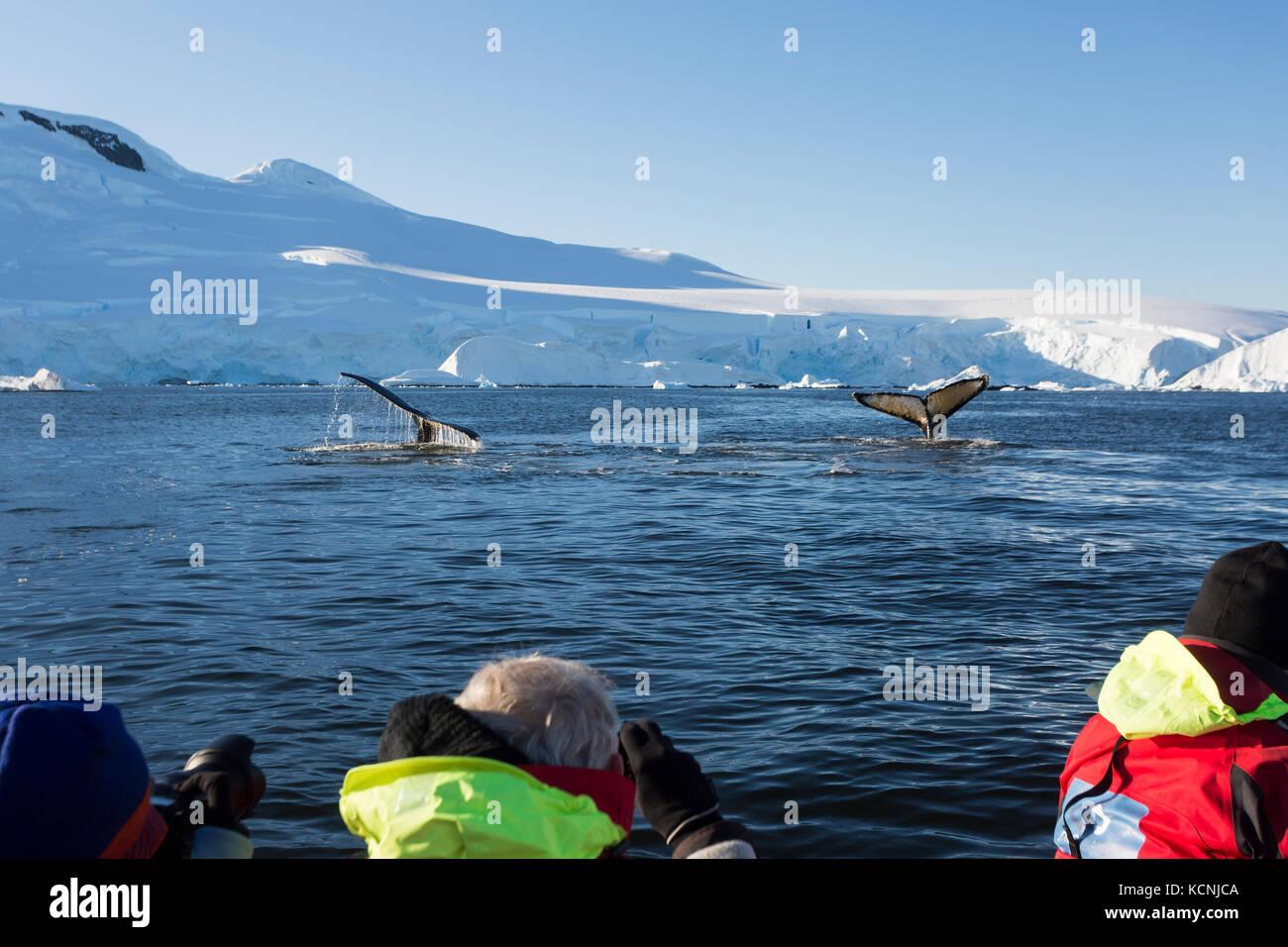 Los pasajeros ver desde una zodiak, ballenas jorobadas alimentándose en la bahía de fournier fuera de la Isla Anvers, el Estrecho de Gerlache, Península Antártica. Foto de stock