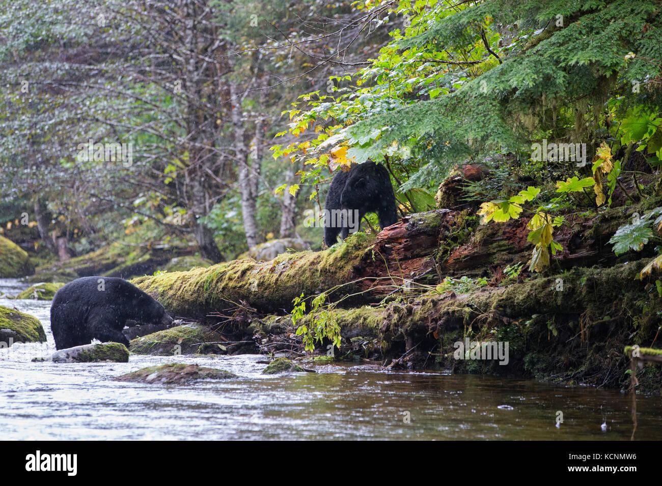Espíritu oso negro (Ursus americanus kermodei), enfrentamiento entre macho y hembra (inferior) con cachorro Imagen De Stock